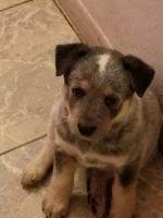 Austrailian Blue Heeler Puppies for sale in Phoenix, AZ 85033, USA. price: NA