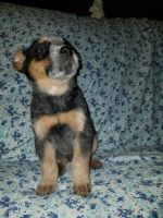 Austrailian Blue Heeler Puppies for sale in Grafton, OH, USA. price: NA