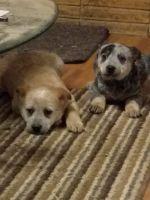 Austrailian Blue Heeler Puppies for sale in Yakima, WA, USA. price: NA