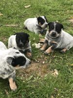 Austrailian Blue Heeler Puppies for sale in Columbus, IN, USA. price: NA