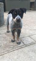 Austrailian Blue Heeler Puppies for sale in Kitsap County, WA, USA. price: NA
