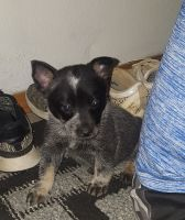 Austrailian Blue Heeler Puppies for sale in Grabill, IN 46741, USA. price: NA
