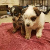 Austrailian Blue Heeler Puppies for sale in Tucson, AZ, USA. price: NA