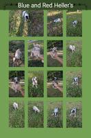 Austrailian Blue Heeler Puppies for sale in 150 Mountain Laurel Trail, Ridgeway, VA 24148, USA. price: NA