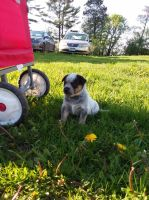 Austrailian Blue Heeler Puppies for sale in Milaca, MN 56353, USA. price: NA
