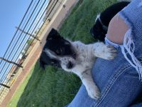 Austrailian Blue Heeler Puppies for sale in Pueblo West, CO, USA. price: NA