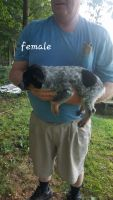 Austrailian Blue Heeler Puppies for sale in Princeton, KY 42445, USA. price: NA