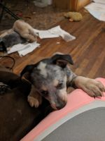 Austrailian Blue Heeler Puppies for sale in Amarillo, TX, USA. price: NA