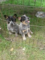 Austrailian Blue Heeler Puppies for sale in McDonough, NY 13801, USA. price: NA