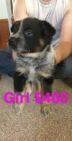 Austrailian Blue Heeler Puppies for sale in Smithshire, IL 61478, USA. price: NA
