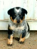 Austrailian Blue Heeler Puppies for sale in Harrisonburg, VA, USA. price: NA
