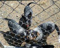 Austrailian Blue Heeler Puppies for sale in Soap Lake, WA 98851, USA. price: NA