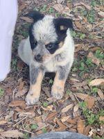 Austrailian Blue Heeler Puppies for sale in Ocala, FL 34482, USA. price: NA