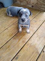 Austrailian Blue Heeler Puppies for sale in Rogersville, TN 37857, USA. price: NA