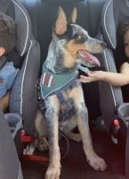 Austrailian Blue Heeler Puppies for sale in Groveland, FL 34736, USA. price: NA