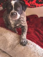 Austrailian Blue Heeler Puppies for sale in Boise, ID, USA. price: NA