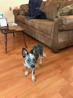 Austrailian Blue Heeler Puppies for sale in Tallahassee, FL, USA. price: NA