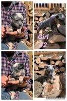 Austrailian Blue Heeler Puppies for sale in Center Point, IN 47840, USA. price: NA
