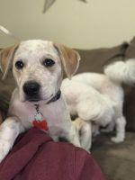 Austrailian Blue Heeler Puppies for sale in Philadelphia, PA, USA. price: NA