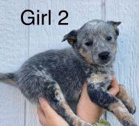 Austrailian Blue Heeler Puppies for sale in Harrodsburg, KY 40330, USA. price: NA