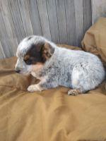 Austrailian Blue Heeler Puppies for sale in Manassa, CO, USA. price: NA