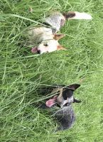 Austrailian Blue Heeler Puppies for sale in New Boston, MO 63557, USA. price: NA