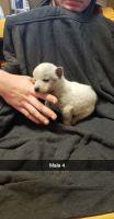 Austrailian Blue Heeler Puppies for sale in Broken Bow, OK 74728, USA. price: NA