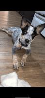Austrailian Blue Heeler Puppies for sale in Altamonte Springs, FL 32701, USA. price: NA