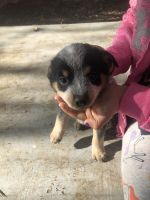 Austrailian Blue Heeler Puppies for sale in Elk Grove, CA 95757, USA. price: NA