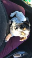 Austrailian Blue Heeler Puppies for sale in Oakland, CA, USA. price: NA
