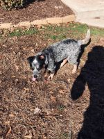 Austrailian Blue Heeler Puppies for sale in Spartanburg, SC, USA. price: NA