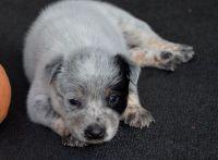 Austrailian Blue Heeler Puppies for sale in Vista, CA 92083, USA. price: NA
