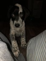 Austrailian Blue Heeler Puppies for sale in Grand Junction, CO, USA. price: NA