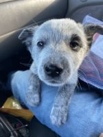 Austrailian Blue Heeler Puppies for sale in 6684 Pheasant Run Cir, Riverside, CA 92509, USA. price: NA