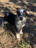 Austrailian Blue Heeler Puppies for sale in TX-151, San Antonio, TX, USA. price: NA
