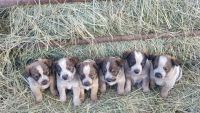 Austrailian Blue Heeler Puppies for sale in Thompson Falls, MT 59873, USA. price: NA