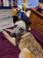 Austrailian Blue Heeler Puppies for sale in Olive Hill, KY 41164, USA. price: NA