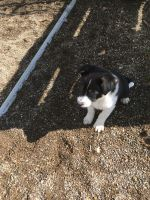 Austrailian Blue Heeler Puppies for sale in Dalton, OH 44618, USA. price: NA