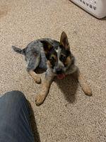 Austrailian Blue Heeler Puppies for sale in Iron Mountain, MI 49802, USA. price: NA