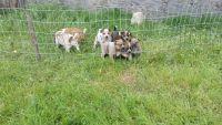 Austrailian Blue Heeler Puppies for sale in Hamilton, TX 76531, USA. price: NA