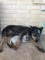 Austrailian Blue Heeler Puppies for sale in Stockdale, TX 78160, USA. price: NA