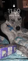 Austrailian Blue Heeler Puppies for sale in Bryan, TX, USA. price: NA