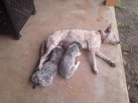 Austrailian Blue Heeler Puppies for sale in Pilot Point, TX 76258, USA. price: NA