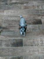 Austrailian Blue Heeler Puppies for sale in Dallas, GA 30157, USA. price: NA