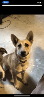 Austrailian Blue Heeler Puppies for sale in Fort Riley, KS, USA. price: NA