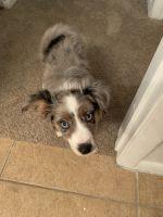 Austrailian Blue Heeler Puppies for sale in Bradenton, FL, USA. price: NA