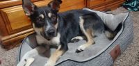 Austrailian Blue Heeler Puppies for sale in Provo, UT, USA. price: NA