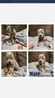 Austrailian Blue Heeler Puppies for sale in Burleson, TX, USA. price: NA