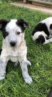 Austrailian Blue Heeler Puppies for sale in Porterville, CA 93257, USA. price: NA