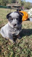 Austrailian Blue Heeler Puppies for sale in Gordonsville, TN 38563, USA. price: NA